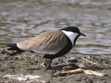 Spur-winged Plover, Lake Ziway