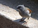 Swainson's Sparrow, Axum