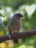 Swainson's Sparrow, Lake Langano