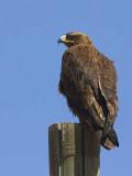 Tawny Eagle, Sululta Plains
