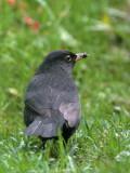Blackbird, North Ronaldsay, Orkney