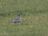 Curlew, North Ronaldsay, Orkney