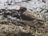 Three-banded Plover, Lake Awassa