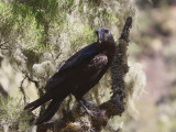 Thick-billed Raven, Simien Mountains NP