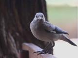 Wattled Starling, Metahara
