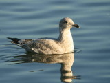 Herring Gull, Hogganfield Loch, Clyde