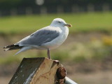 Herring Gull, Maidens Harbour, Ayr
