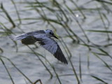 White-winged Tern, Lake Awassa