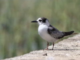 White-winged Tern, Awassa fish market