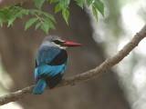 Woodland Kingfisher, Lake Langano