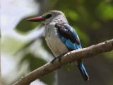 Woodland Kingfisher, Awassa