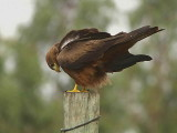 Yellow-billed Kite, Axum