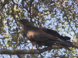 Yellow-billed Kite, Gonder