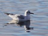 Black-headed Gull, Garnqueen Loch, Clyde