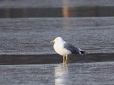 Possible Yellow-legged Gull, Hogganfield Loch, Glasgow