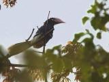 Brown-cheeked Hornbill