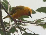 Orange Weaver