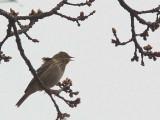Tree Pipit, Bishop Loch LNR, Glasgow