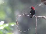 Red-headed Malimbe, Kakum NP, Ghana