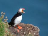 Puffin, Handa Island, Highland