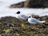 Mediterranean Gulls, Buckhaven, Fife