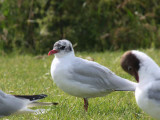 Mediterranean Gull (2nd summer), Buckhaven, Fife