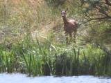 Roe Deer, Loch Lomond NNR, Clyde