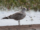 Common Gull (juvenile), Loch Lomond NNR, Clyde