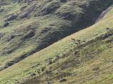 Red deer on Bowfell