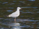 Black-headed Gull (juvenile),  Rydal Water