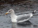 Herring Gull, Brodick, Clyde Islands