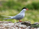 Arctic Tern, Isle of May, Fife