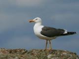 Lesser Black-backed Gull, Isle of May, Fife