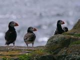Puffin, Isle of May, Fife