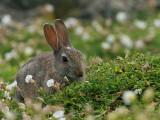 Rabbit, Isle of May, Fife