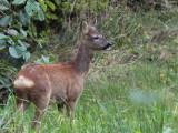 Roe Deer, Loch Lomond NNR