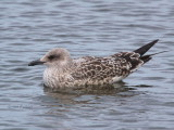 Herring Gull (juvenile), Hogganfield Loch, Glasgow