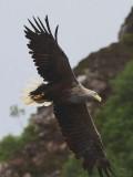 White-tailed Eagle, Portree-Skye, Highland