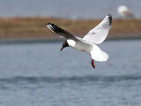 Black-headed Gull, Endrick Mouth, Clyde