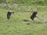 Golden Eagle, Skye, Highland