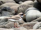 Ringed Plover, Talisker Bay, Skye