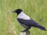 Hooded Crow, Talisker Bay, Skye