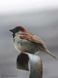 House Sparrow, Talisker Bay, Skye