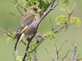 Greenfinch, Talisker Bay, Skye