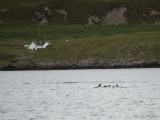 Common Dolphins, Sound of Raasay, Skye