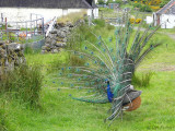 Peacock, Talisker farm, Skye