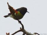 Newton's Sunbird, São Tomé
