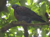 São Tomé Maroon (or Olive) Pigeon, Obô National Park, São Tomé