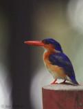 Príncipe Kingfisher, Bom Bom Resort, Príncipe