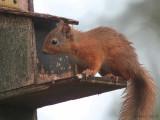 Red Squirrel. Loch Garten, Highland